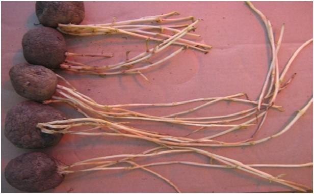 Что делать, если семенной картофель пророс зимой?