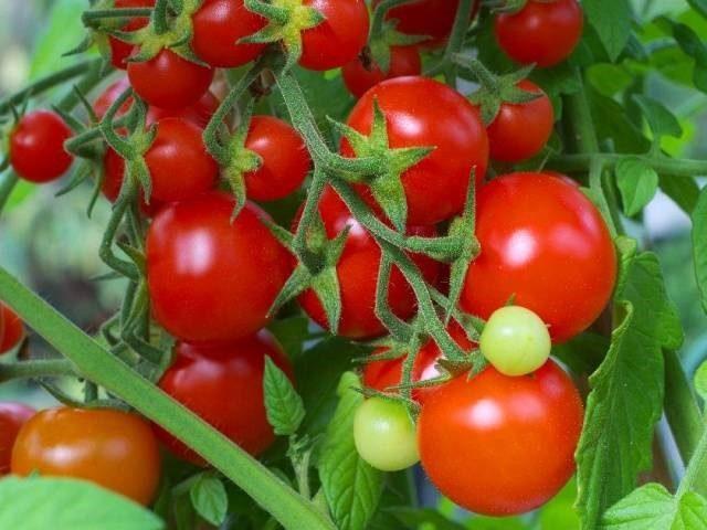 Правильная подготовка семян томата к посеву – залог щедрого урожая