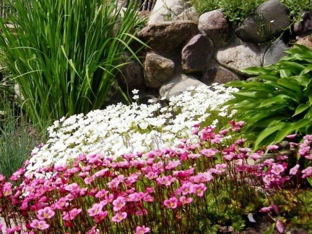 Камнеломка – изящное украшение каменистого сада