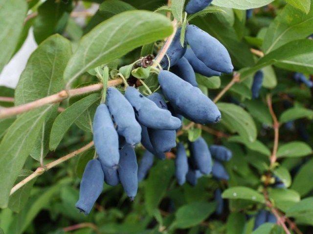 Чем лучше удобрять жимолость для щедрого урожая? Простые рецепты