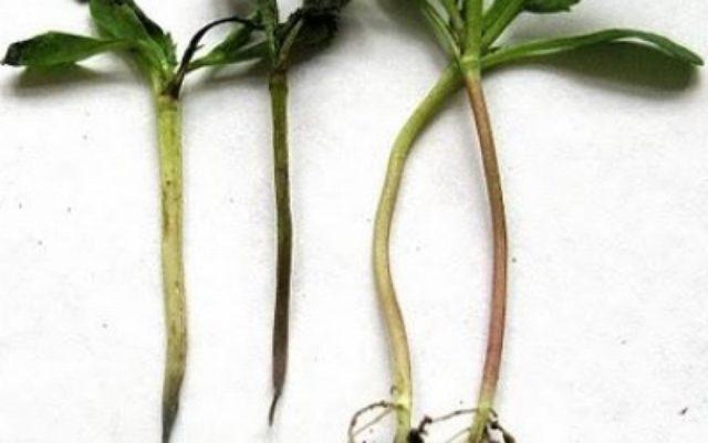 Как избавиться от черной ножки на рассаде. Профилактика и эффективные препараты