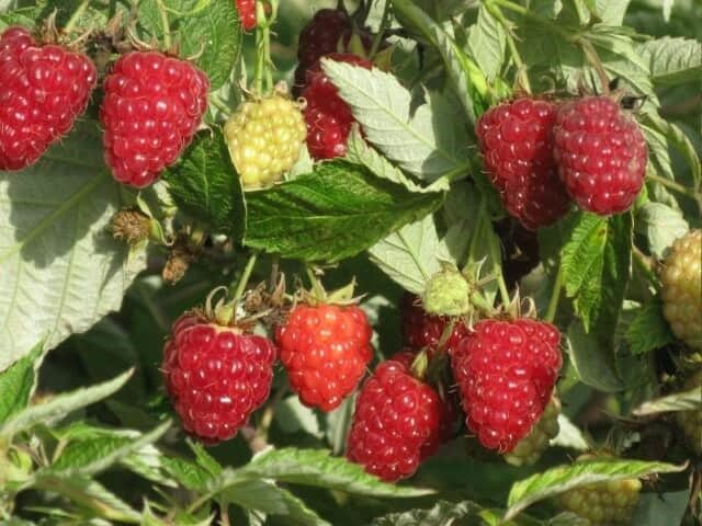 Несколько советов, как повысить урожайность ремонтантной малины