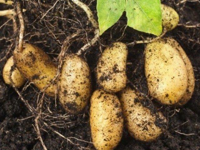 Как бороться с проволочником на картофеле?