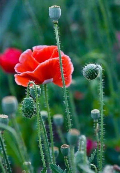 цветы мака