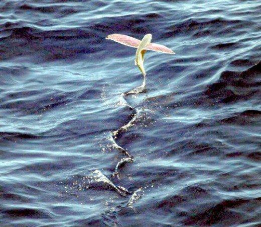 скольжение летучей рыбы