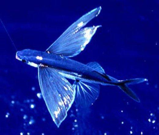 морская летучая рыба