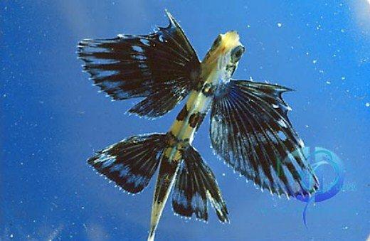 Летучая рыба (15 фото)